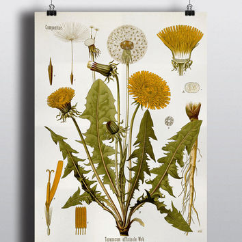 Antique Dandelion Flower Botanical Science Chart Illustration 1800s Vintage Print Wall Decor Wall Art Floral Decor Design Litograph Art