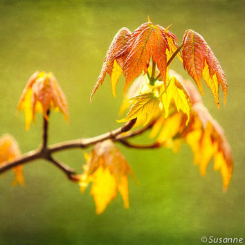 Nature Photography, Spring Maple Leaves, Spring Green, Fine Art Print, Green Orange Yellow, Home Decor