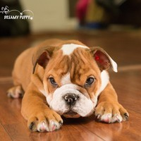 Buy a English Bulldog puppy , from Dreamy Puppy available only at DreamyPuppy.com Place a $200.00 deposit online!
