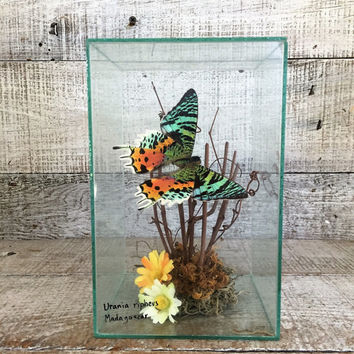 Butterfly Taxidermy Butterfly in Glass Real Butterfly Art Butterfly Terrarium Bug Taxidermy Butterfly Display Case Encased Butterfly