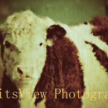 color photo print of white face cow , cattle , against green background ,farm decor, farm art, country photos