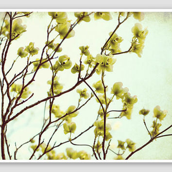 "Nature Photography - pale celery green spring dogwood flowers photography tree branches - ""Green Dogwood"""