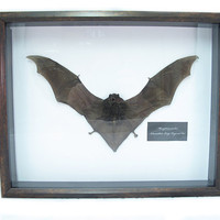 Preserved Bat Specimen Mummified Bat Display Shadow Box Taxidermied Bat