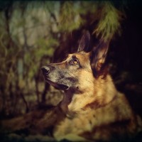 German Shepherd Photography Dog,black,tan,Gifts under 25,home decor
