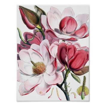 Magnolia Flowers Poster Print