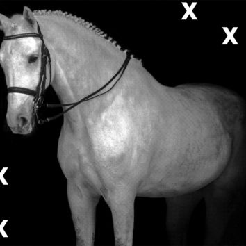 White horse portrait in dressage bridle isolated on black background - Airbrush Stencil