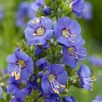 Jacobs Ladder Blue Flower Seeds (Polemonium Caeruleum) 50+Seeds