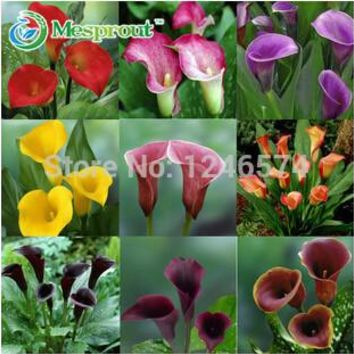 100 /bag Flower plants bonsai multicolour calla lily,calla lily seed type,pure love potted balcony, planting is simple