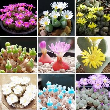6 Different Color Lithops Flowers Seeds Stone Flower Seeds Indoor Perennial Bonsai Plants Home Garden Pot 120PCS