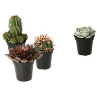 Altman Plants Assorted 3.5 in. Cactus and Succulents Plants (3-Pack + 1 Free)-0881015 at The Home Depot