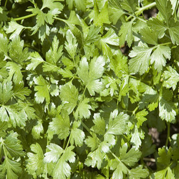 Slow Bolt Cilantro Heirloom Herb Seeds Coriander Non-GMO Naturally Grown Open Pollinated