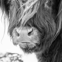Highland Cattle 5 - Fine Art Photography - Cow - Nature Photography - 7x5 Print