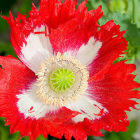 100x Rare Exotic Poppy Danish Flag Flower Seeds - Papaver Somniferum - Exciting Home Garden Decor