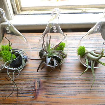 Matching Trio of Teardrop Terrariums with Gray-Green Foliage including Caput Medusae, Butzii, and Harrisii. Neutral Palette & Airy Design.