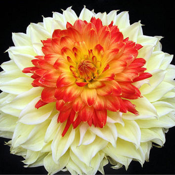 100 Rare Yellow Orange Dahlia Seeds Charming Chinese Flower Bonsai Plants Garden Grow Heirloom