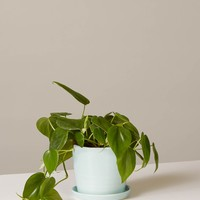 Philodendron: Green - August Planter