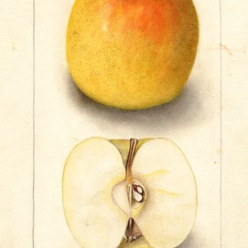 Apples, Grimes Golden (1905)