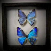 mounted blue morpho butterfly
