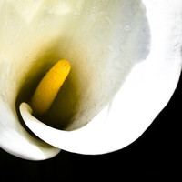 White Calla Lily - Botanical Series - Botanical Print