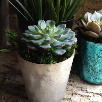 Succulent & Planter in Mercury glass votive for Home Decor or Wedding Favor. Sold individually or in sets, comes in Pink, Red, or Silver