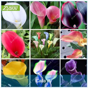 ZLKING 2 Pcs Colorful Calla Lily Bulbs Ture Bubls Rare  Flowers Seeds Promotions Bonsai For Home Garden High Germination Rate