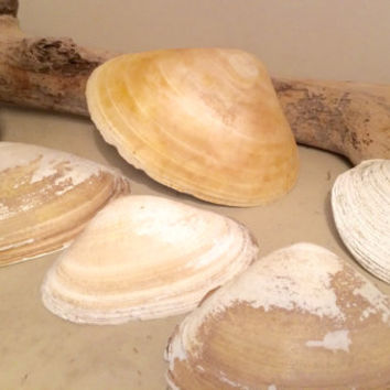 6 Extra Large Clam Shells Atlantic Surf Clam Sea Clam Shells from Cape Cod 3.5-6.5 Inches Crafts Vanity Shell Dish Ocean Decor Coastal Theme