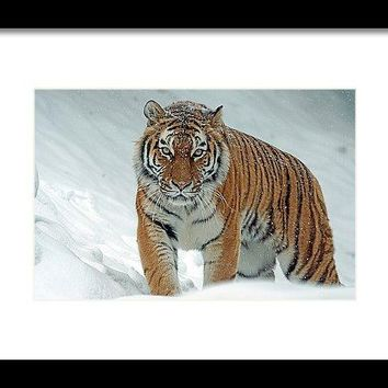 Tiger In Winter - Framed Print