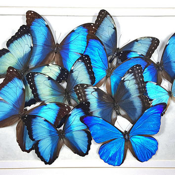 FREE SHIPPING Framed Morpho Butterflies Art Display Taxidermy  A1/A-