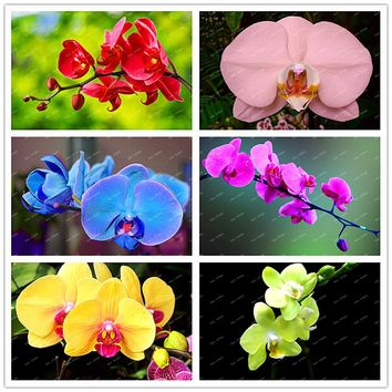 Rare Beautiful Phalaenopsis Orchid Seeds Flower Seeds Indoor&Outdoor Bonsai Orchids potted Plant for home 200 particles / lot