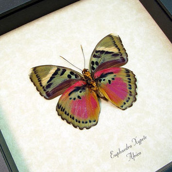 Real Framed Colorful African Butterfly Shadowbox Display 442