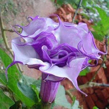 100 Pcs Datura Seed Rare purple Balcony Plant Flowers Potted Bonsai Seeds Home Garden Green Herbs Mandala Flower Seeds