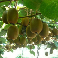 Organic 100 Grams (approx. 45,000 Seeds) KIWI Fruit Tropical Fruit Bearing Vines Edible Bulk Green Sweetest F22(1)