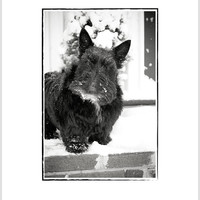 Inquisitive Scottie Dog In Snow Christmas Greeting Card - Scottish Terrier Holiday Card - Scotty Dog Photo Card