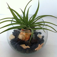 Air Plant Terrarium with Black Pebble Beach & Shells