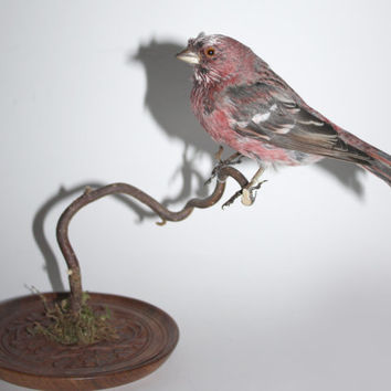 Real stuffed rosefinch taxidermy bird