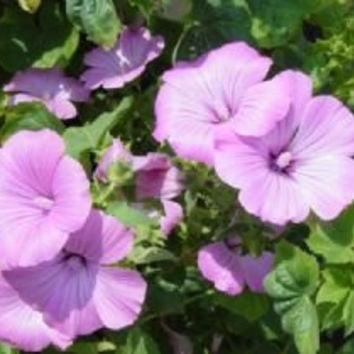 The Dirty Gardener Rose Mallow Flowers, 1,100 Seeds