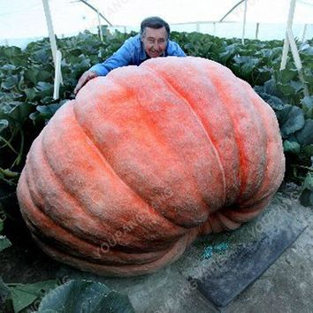 Specials! 30pcs / Pack Giant Pumpkin plants Super Large Chinese Perennial Vegetable plants Rare Species For Home Garden Planting