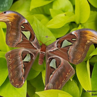 Real Female Atlas Moth Photography