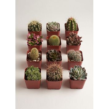 "LIVE 2"" Cactus & Succulent Collection - Pack of 12 - Ships Alone"