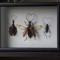 Love Beetles - Museum Glass Shadow Frame Display - Insect Bug Oddity Curiosity Art