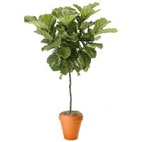 Ficus Lyrata Topiary(SKU: PS20008)