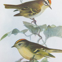 Wren Picture, Chiffchaff Picture, Fire Crested Wren, Golden Crested Wren, Willow Wren, Chiffchaff, Bird Print, Bird Illustration