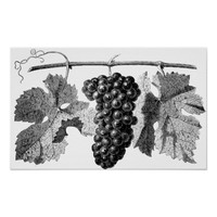 Grapes Vine Plant Garden Illustration Poster