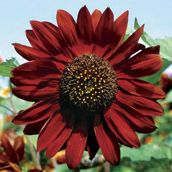 Sunflower Velvet Queen Seeds (Helianthus Annuus) 50+Seeds