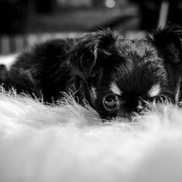 Chihuahua Puppy Photo, Black and White Dog Photograph, Pet Portrait, Cute Animal Portrait, Home and Wall Decor