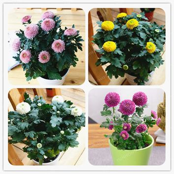 100 Pcs Pompon Mum Seeds Lovely Bonsai Flower Seeds Home Pots Popular Africa Chrysanthemum Dendranthema Morifolium Seed
