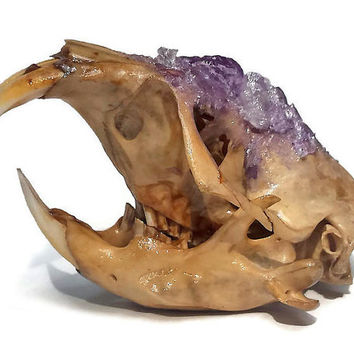 Camas Pocket Gopher Skull - Rodent Skull - Real Animal Skull - Taxidermy - Animal Bones - Curiosities and Oddities