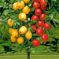 Dwarf  bonsai apple tree  20 Seeds Pick Delicious Fruits In Your Backyard  Easy -growing Bonsai FruitFree Shipping