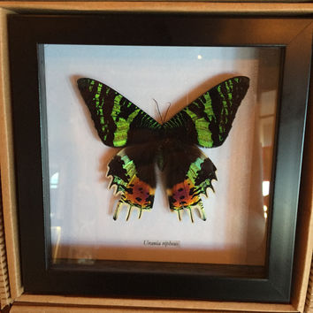 Urania Ripheus Black Glass Frame