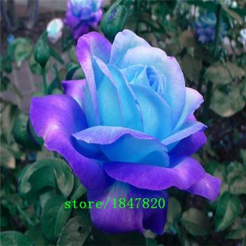 GGG Free Shipping 100 Midnight Supreme Rose Seeds , Rare color, Real seeds, Ideal DIY Home Garden Flower
